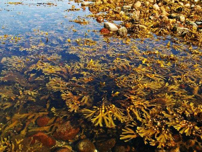 Algen der Ostsee
