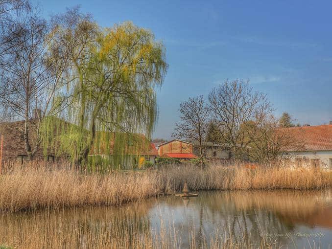 Schilf am Teich in Stolpe auf Usedom