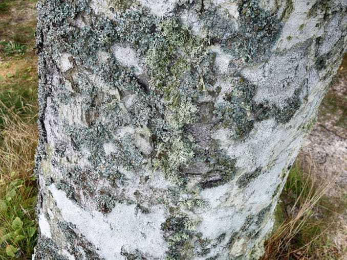 Ausgewachsener Baum im Buchenwald – Orzechowo Morskie