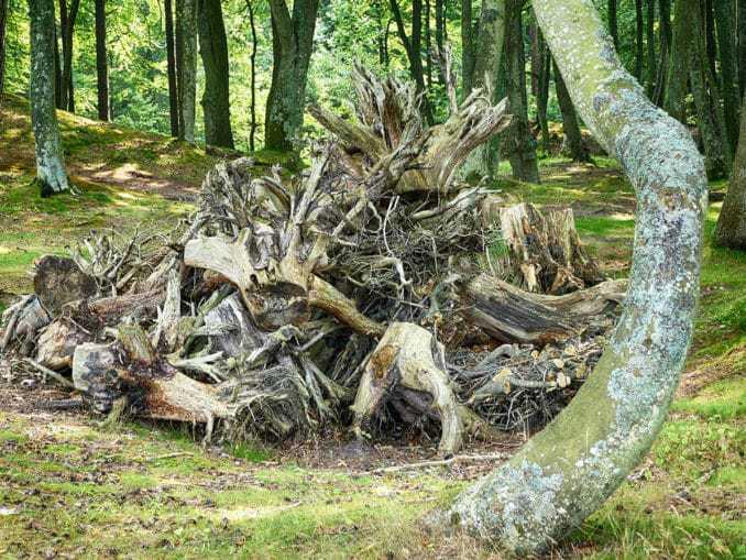 Altes Wurzelholz im Buchenwald Orzechowo Morskie