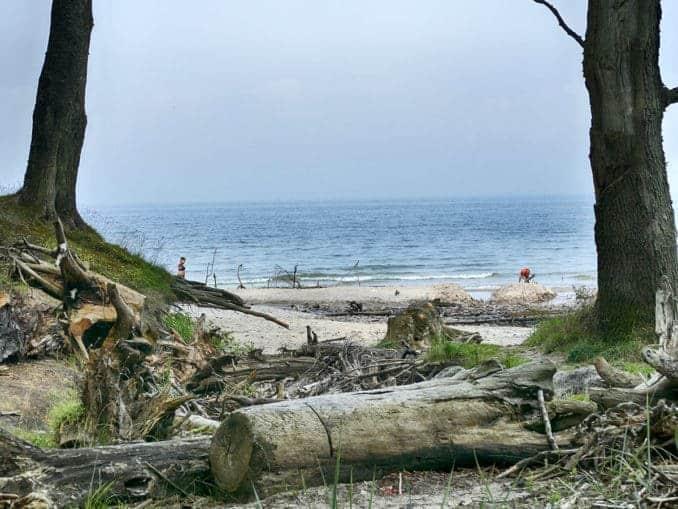 Alte Buchen am Waldrand (Orzechowo Morskie) Blick auf die Ostsee