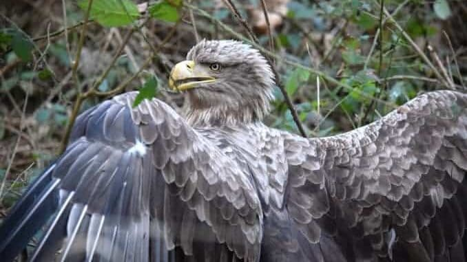 Seeadler im Pansevitzer Wald gerettet