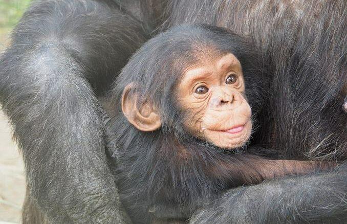 Schimpansen im Zoo Stralsund