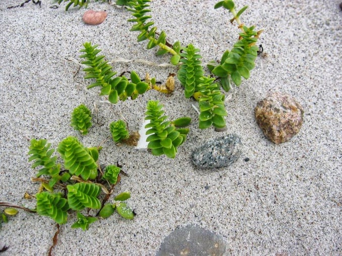 Salzmiere (Honckenya peploides) Bild: Kristian Peters CC BY-SA 3.0